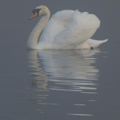 Swan, boating lake, misty morning