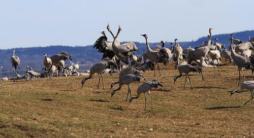 hornborgasjön trandansen birds nonpasserines crane sweden grus grusgrus