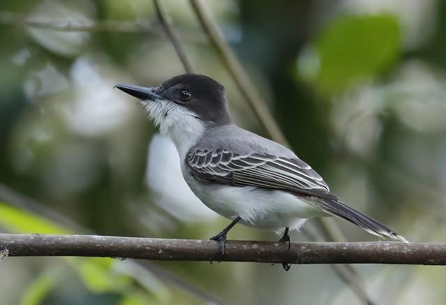 Loggerhead Kingbird_19-03-01_Tyrannus caudifasciatus
