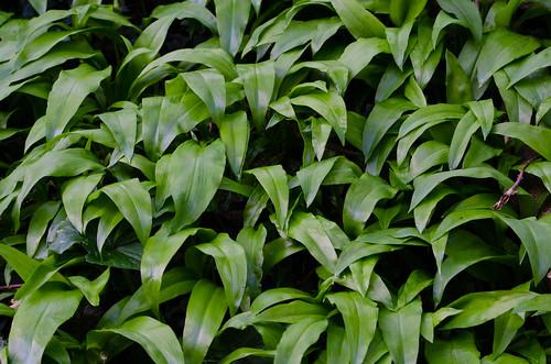 Leaves: wild garlic