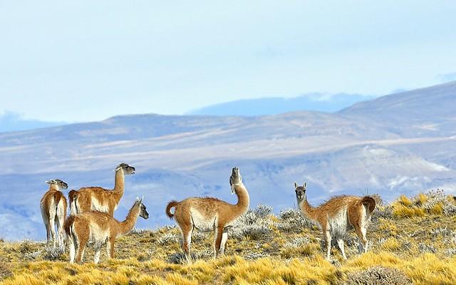 Chile, guanacos