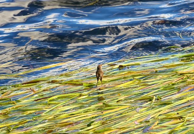 Dancing on the Dam, Blue Wren at Barossa Reservoir, South Australia