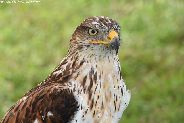 King buzzard - Falconry Fair