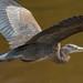 Great Blue Heron In Flight by RussellK2013