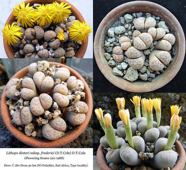 Lithops dinteri subsp. frederici (collage)