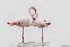 Greater Flamingo, Phoenicopterus roseus by Kevin B Agar