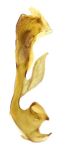 Gyrophaena gentilis Erichson, 1839 Genital | by urjsa