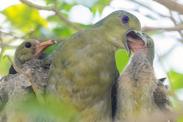 Pink-necked Green Pigeon Feeding