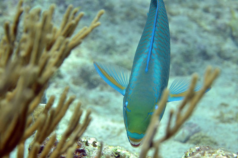Aruba Scuba 1/21-2/3  close up of blue fish in coral