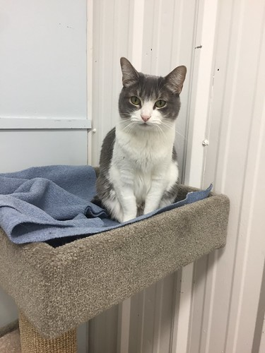 Misty Moon - 6 year old spayed female | by carescatshelter