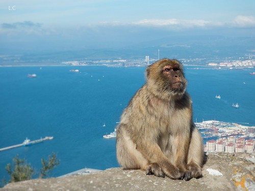 Gibraltar monkey | by lauracastillo5
