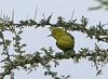 Marshall's Iora, White-tailed Iora (Aegithina nigrolutea)