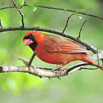 Inquisitive Cardinal