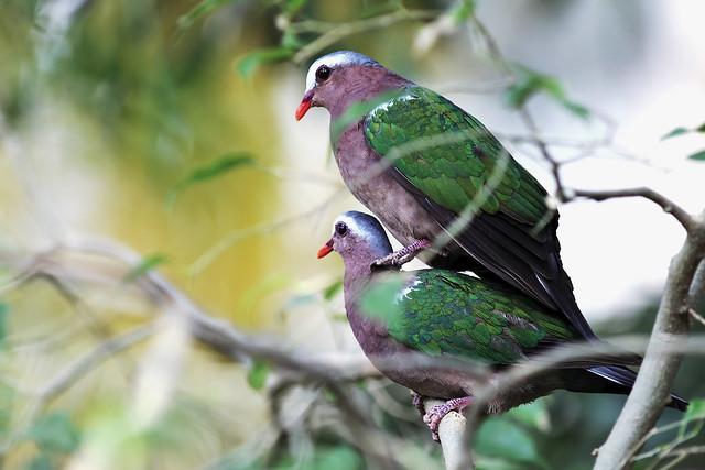 綠背金鳩    Emerald Dove