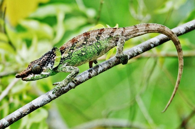 Cryptic Chameleon (Calumma crypticum)