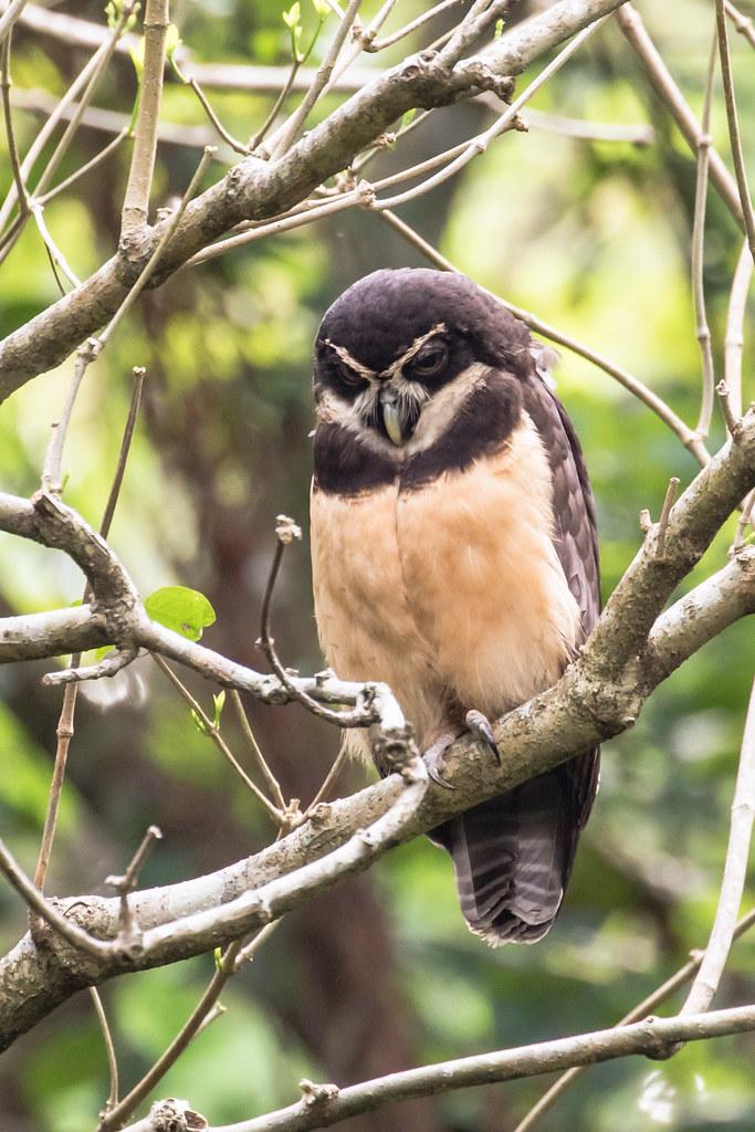 9K0A1800 Spectacled Owl, Pulsatrix perspicillata.