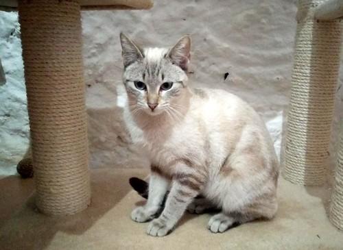 Teryl, preciosa gata siamesa tabby esterilizada nacida en Septiembre´18, en adopción. Valencia. ADOPTADA. 46312485845_e5427de7b8