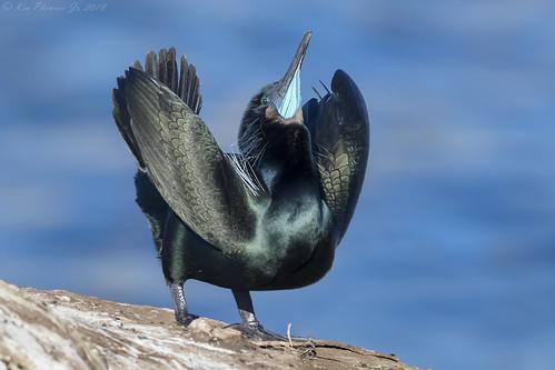Brandt's Cormorant Display