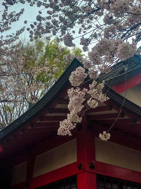 Last sakura shot for this year (probably...)