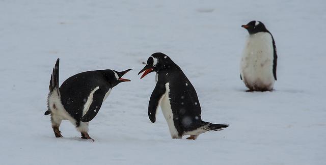 ... pinguini gentoo, cuverville island, penisola antartica (01) ...