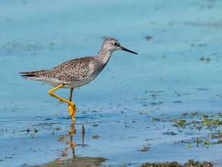 Yellowleg | by @Michael
