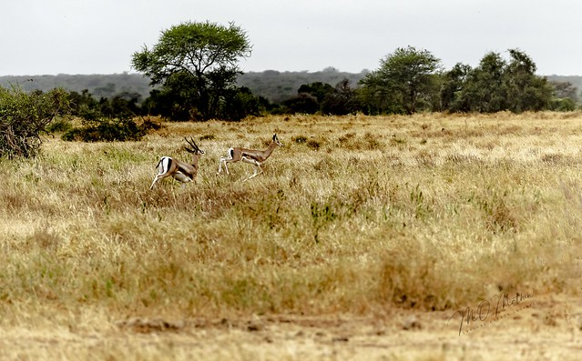 Sprinting Grant's gazelles