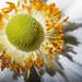 Corona Pollen