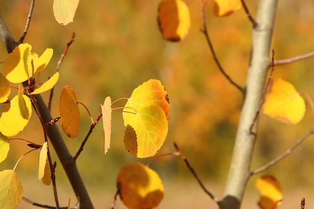 Colorado Aspens in the Fall