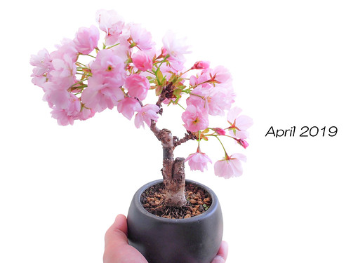 Sakura Bonsai | by INZM.