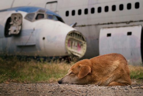 sleepingdog jet airliner mcdonnelldouglas md82 fuselage nose airplanegraveyard bangkokthailand ramkhamhaengdistrict southeastasia aviation aircraft retired abandoned deserted dissected stripped urbanexploration deterioration wasteland scrapped dismantled wreckage surreal flight plane travel pet transportation thai siam asian door windows dof blur bokeh junked restingplace hull forsaken broken outdoors landscape urbex grafiti weeds ear fur nikond7500 sigma18300 photoshopbyfehlfarben thanksbinexo