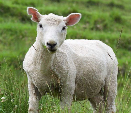 grass auckland sheep fauna nikon newzealand newzealandfauna newzealand2018