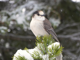 Canada Jay - Manning Park, BC | by Michael W Klotz - The Bird Blogger.com