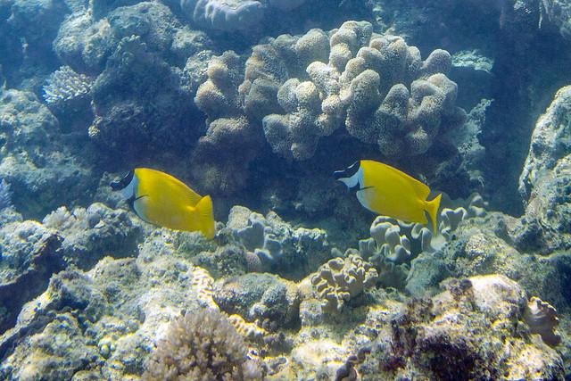 Siganus vulpinus Foxface Rabbitfish