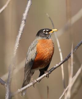 American Robin   by Ezra Peregrine