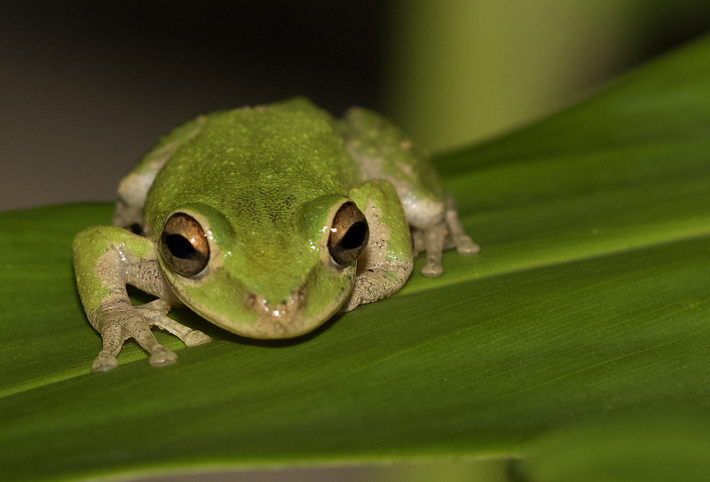 Tree frog Ascanio_Cuba 199A5965