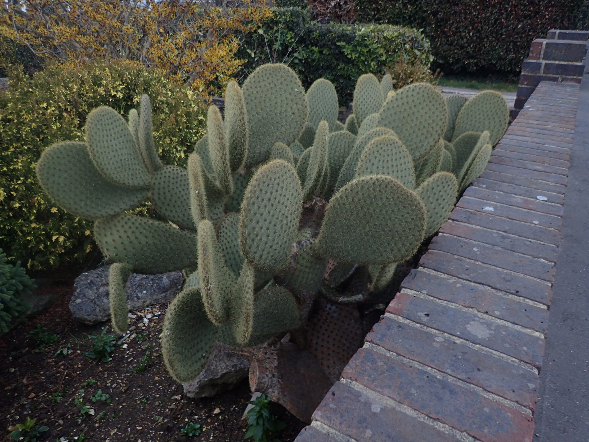 Opuntia scheeri Lancing, Sussex, UK