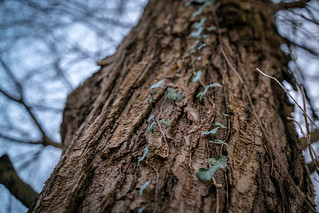 Vines Crawling Up an Old Tree on a Dreary Day | by John Brighenti