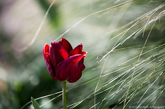 Dark Red Tulip