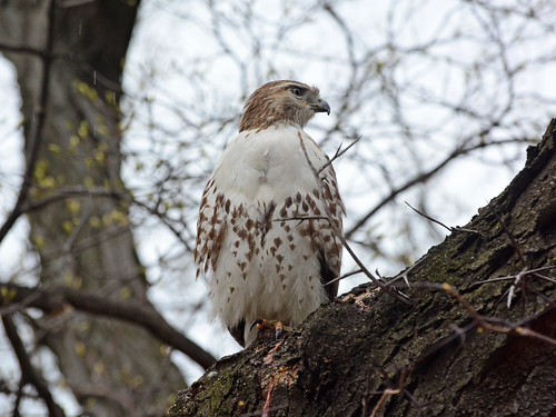 Riverside Hawk - 2006 | by rbs10025