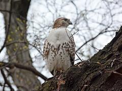 Riverside Hawk - 2006
