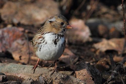 bird harrisssparrow yakimaareaarboretum yakimacounty washingtonstate zonotrichiaquerula fantasticnature