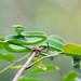 Trimeresurus macrops, Large-eyed pit viper - Phu Suan Sai National Park by Rushen!