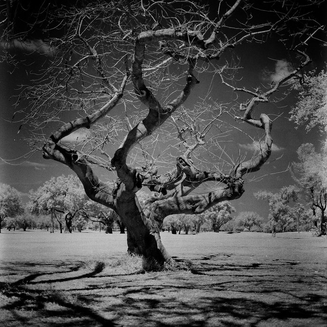 Poinciana Tree in infrared