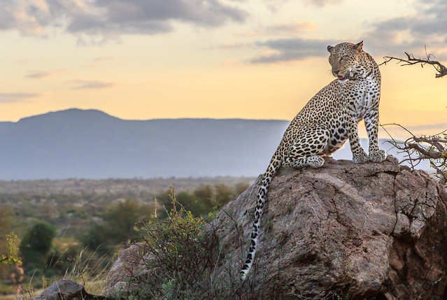 léopard rocher soir-9404
