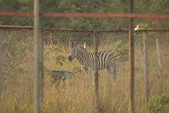 A long way from home plains Zebra Shai Hills Resource Reserve in Ghana