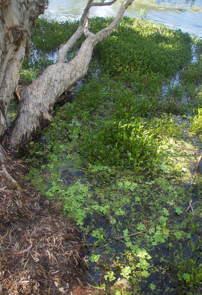 Pistia stratiotes, Eichhornia crassipes and Salvinia molesta, Ross River, Townsville, QLD, 02/01/19