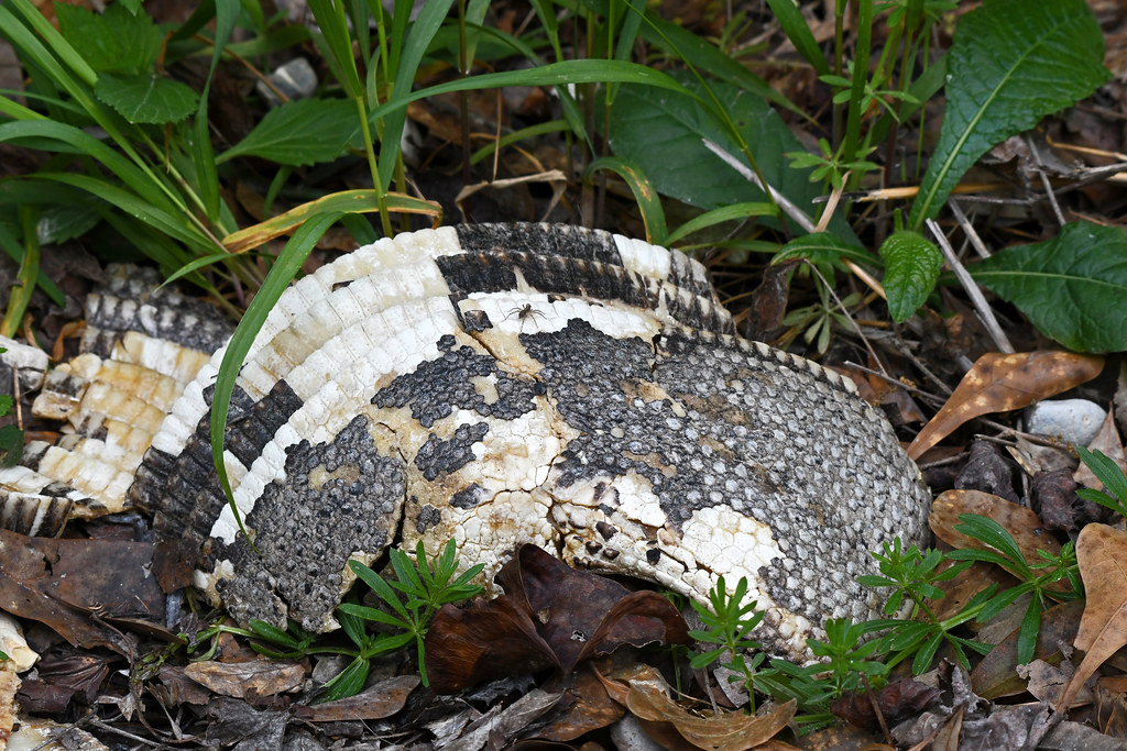 Armadillo Shell (Bogue Chitto NWR)