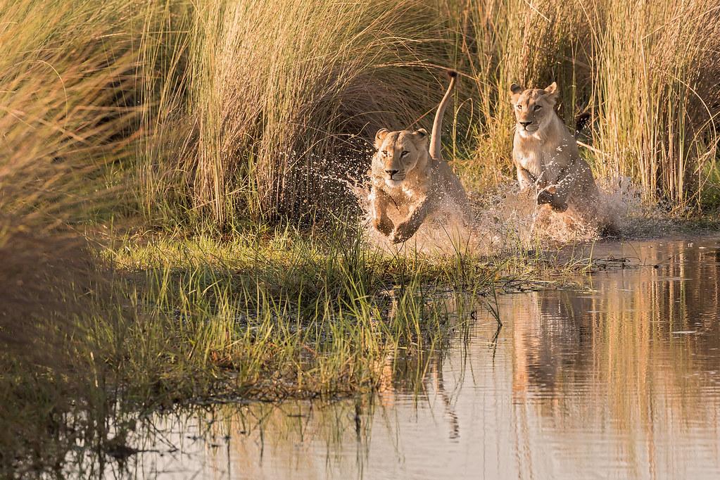 Watershy lions?
