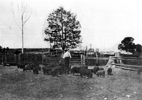 queensland statelibraryofqueensland pigs yearofthepig farm piggery livestock farmer