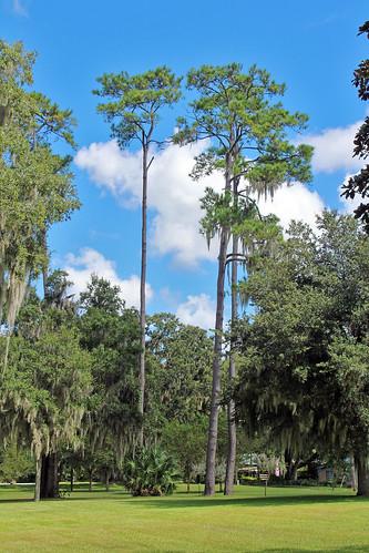 landscape scenery park trees pine ocala florida unitedstates